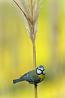 Blue Tit on a inflorescence of Uruguayan Pampas Grass
