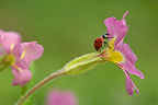 Sevenspotted Ladybeetle walking on a Primrose flower
