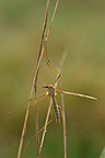 Female cranefly at dawn on a twig Finist�re�