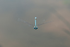 Globet-marked Damselfly flying over the Loire, Marzy, France