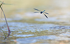 Damselfly flying over the Loire France