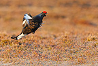 Male Black grouse displaying on the lek in spring, Scotland, UK