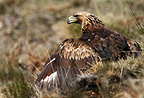 Portrait of a Golden Eagle in the Pyrenees