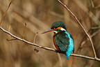 Female Kingfisher on a branch