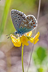 Argus Sky blue butterfly, Mormoiron, Provence, France
