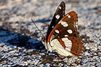 Southern White Admiral in spring, Provence, France
