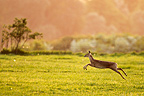 Female Chinese water deer running in a flowering meadow, England