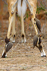 Legs of an Impala covered with Red-billed Oxpecker, Kruger National Park, South Africa