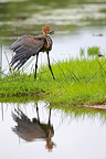 Goliath heron in courtship, Kruger National Park, South Africa