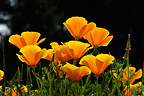 California poppies in bloom in a garden, Luzarches, France