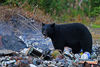 Black bear in a landfill where waste is burning, Stewart, Hyder region, Alaska