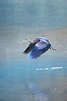 Great blue heron flying over a blue glacial lake, Stewart, Hyder region, Alaska