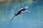 Great blue heron walking on the water of a blue glacial lake, Stewart, Hyder region, Alaska