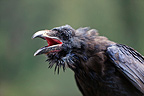 Portrait of an American Crow singing, Stewart, Hyder region, Alaska