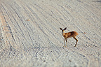 Steenbok on a track in Kalahari Gemsbok National Park, South Africa