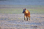 Brown Hyaena walking in the Kalahari Gemsbok National Park, South Africa