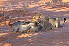 Young Lions playing on the red sand of the Kalahari Desert, South Africa