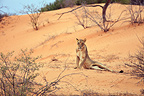 Lioness siting on a dune of the Kalahari Desert, South Africa
