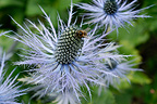 Sea holly in bloom in the Alps, City of Pralognan-la-Vanoise