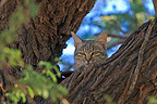 African wild cat watching from the top of a tree, South Africa