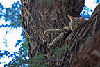 African wild cat asleep on top of a tree, South Africa