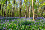 Common Bluebells flowering in spring, Hallerbos forest, Belgium