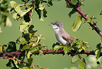 Lesser whitethroat singing on bramble in spring, England