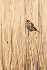 Female Reed bunting perched on a phragmite in winter, England, GB