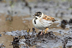Male Reed bunting with a deseased foot in winter, England, GB
