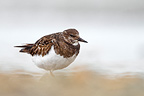 Turnstone standing near water in winter, England
