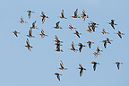 Flock in flight of Black tailed godwits in spring, England